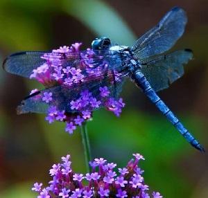 Medecine libellule